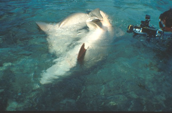 pics of sharks mating